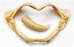 Sale 9190 - Lot 11 - A shark's jaw together with a small whales tooth (W:23.5cm and 10.5cm)