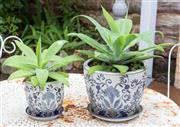 Sale 8530A - Lot 324 - A pair of Agave plants in ceramic blue and white pots with saucers