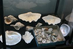 Sale 7914 - Lot 74 - Clam Shells & Others