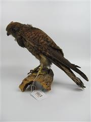 Sale 8431A - Lot 663 - Taxidermy Hawk on Stand
