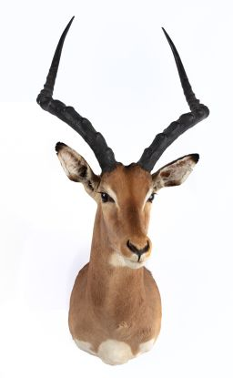 Sale 9150J - Lot 40 - A Taxidermy Impala Mount (L 88cm)