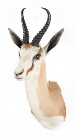 Sale 9150J - Lot 39 - A Taxidermy Springbok (horns detach, L 72cm)
