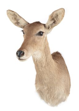 Sale 9150J - Lot 38 - A Taxidermy Female Fallow Deer (L 68cm)