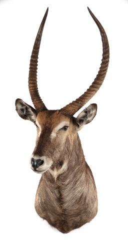 Sale 9150J - Lot 37 - A Taxidermy Waterbuck (detachable horns)