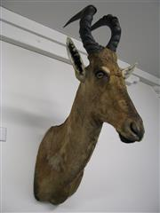 Sale 8331A - Lot 581A - Red Hartebeest Shoulder Mount, new taxidermy
