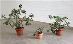 Sale 9255 - Lot 1518 - Collection of money trees (h:75cm)