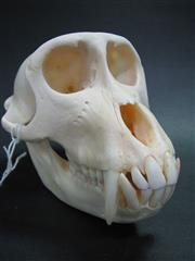 Sale 8107A - Lot 1509 - Adult Rhesus Macaque Skull