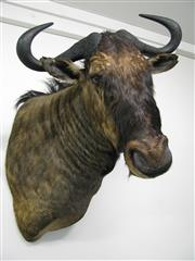 Sale 8331A - Lot 581B - Blue Wildebeest Shoulder Mount, new taxidermy