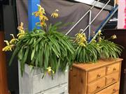 Sale 8782 - Lot 1347 - Set of Three Slipper Orchids incl. Two in Hanging Planters