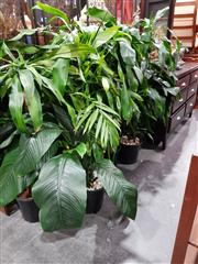 Sale 8697 - Lot 1590 - Collection of Indoor Plants