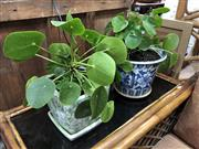 Sale 8854 - Lot 1033 - Pair of Lucky MoneyPlants in Planters