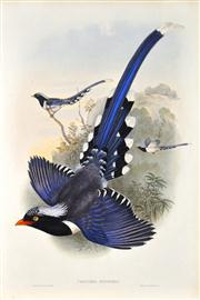 Sale 8309 - Lot 579 - John Gould (1804 - 1881) - UROCISSA SINENSIS - Chinese Blue Pie 54.5 x 37cm (sheet size)