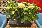 Sale 8277 - Lot 1020 - Tray of Hydrangeas
