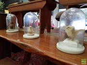 Sale 8469 - Lot 1039 - Three Glass Domes on Marble Base with Taxidermy Chicks