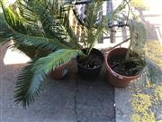 Sale 8801 - Lot 1547 - Collection Of Four Potted Palms