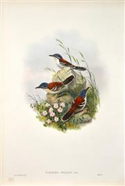 Sale 8434 - Lot 575 - John Gould (1804 - 1881) - TODOPSIS WALLACII: Wallaces Todopsis 54.5 x 37cm (sheet size)