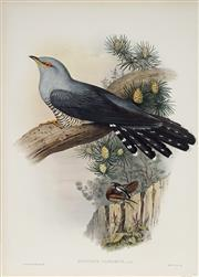Sale 8977A - Lot 5067 - John Gould (1804 - 1881) - CUCULUS CANORUS: Cuckoo hand-coloured lithograph, with letterpress text sheet (unframed)