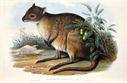 Sale 8415 - Lot 581 - John Gould (1804 - 1881) - LAGORCHESTES CONSPICILLATA: Spectacled Hare Kangaroo 54.5 x 37cm (sheet size)