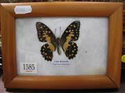 Sale 8107A - Lot 1585 - Single Butterfly Display, framed