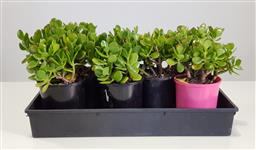 Sale 9255 - Lot 1435 - Collection of potted succulents (h:28cm)