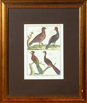 Sale 8625A - Lot 16 - A C19th French hand coloured engraving, depicting Histoire Natural - Ornithologie -Illustrator; Benard, total frame size 50 x 43cm.