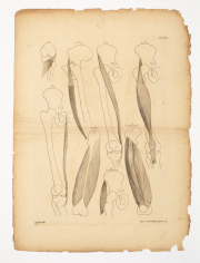 Sale 8795A - Lot 34 - After Bernhard Siegfried Albinus (German/Dutch, 1697-1770). Group Of Bone And Muscle Studies,1748-1749Four engravings, text includ...