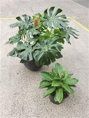 Sale 8959 - Lot 1022 - Indoor Potted Plants In Planters & Smaller Plant ( Tallest: 100cm )