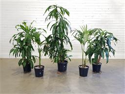 Sale 9183 - Lot 1007 - Collection of 5 Indoor Plants (H: 174cm)