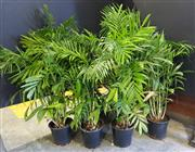 Sale 8942 - Lot 1019 - Collection of Indoor Plants (tallest - 150cm)