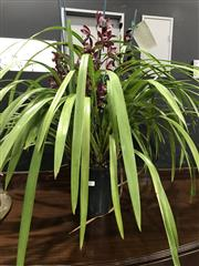 Sale 8809 - Lot 1006 - Cymbidium Orchid with 4 Spikes in Burgundy