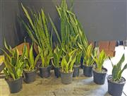 Sale 8942 - Lot 1035 - Collection of Indoor Plants (tallest - 120cm)