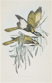 Sale 8753 - Lot 2037 - John Gould and H.C Richter - ENTOMYZA ALBIPENNIS: White-pinioned Honey-eater 35.5 x 51cm