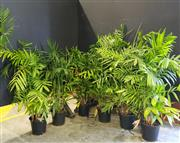 Sale 8942 - Lot 1056 - Collection of Indoor Plants (tallest - 170cm)