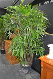 Sale 8046 - Lot 1012 - Large Rhapis Palm