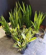 Sale 8942 - Lot 1073 - Collection of Indoor Plants (tallest - 130cm)