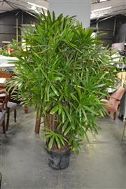 Sale 8046 - Lot 1061 - Large Rhapis Palm