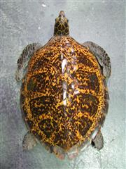 Sale 8331A - Lot 579 - Antique Taxidermy Sea Turtle, small