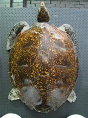 Sale 8331A - Lot 574 - Antique Taxidermy Sea Turtle, large