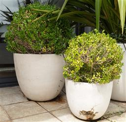 Sale 9130H - Lot 77 - Pair of graduated white composite planters containing Japanese buxus.Height of larger 54cm