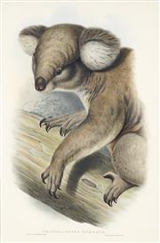 Sale 8722 - Lot 564 - John Gould (1804 - 1881) - PHASCOLARCTOS CINEREUS: Koala 52 x 34cm