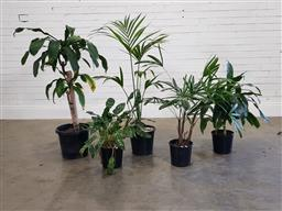 Sale 9183 - Lot 1074 - Collection of 5 Indoor Plants (H: 130cm)