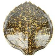 Sale 8279 - Lot 93 - South Pacific Turtle Shell