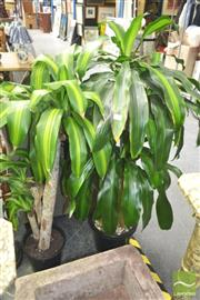 Sale 8272 - Lot 1017 - Collection of Indoor Plants