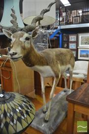 Sale 8359 - Lot 1070 - Full Mounted Ibex