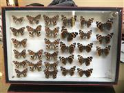 Sale 8471H - Lot 96 - A framed collection of Nymphalides butterflies, 26 x 39cm