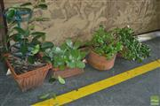 Sale 8331 - Lot 1706 - Collection of Four Plants in Terracotta Planters