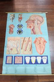 Sale 8410 - Lot 100 - Denoyer-Geppert Anatomy Series Medical Poster on Canvas by M. Rohl