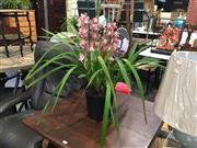 Sale 8782 - Lot 1367 - Pink Cymbidium Orchid With Two Spikes