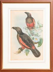 Sale 9060H - Lot 90 - A John Gould Print of Dasyptilus Pesqueti, hand coloured and framed. Size of frame 77 x 56cm Details verso.