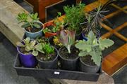 Sale 8087 - Lot 1047 - Tray of Succulents